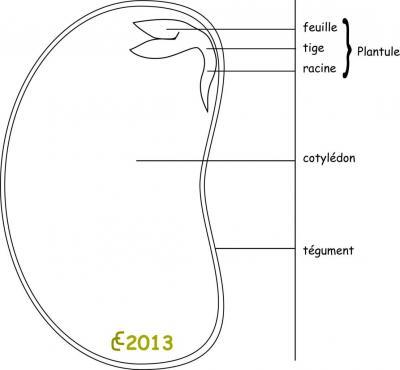 anatomie-graine.jpg
