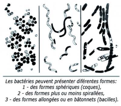 bacteria-shape.jpg