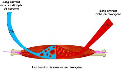 bilan-muscle-o2.jpg