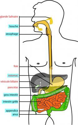 digestion2.jpg