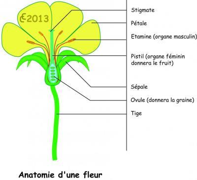 fleur-dissection.jpg