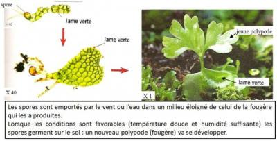 Germination spore fougere