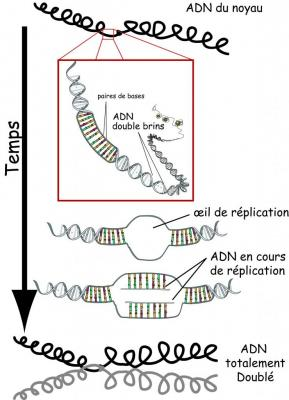 replication-adn.jpg
