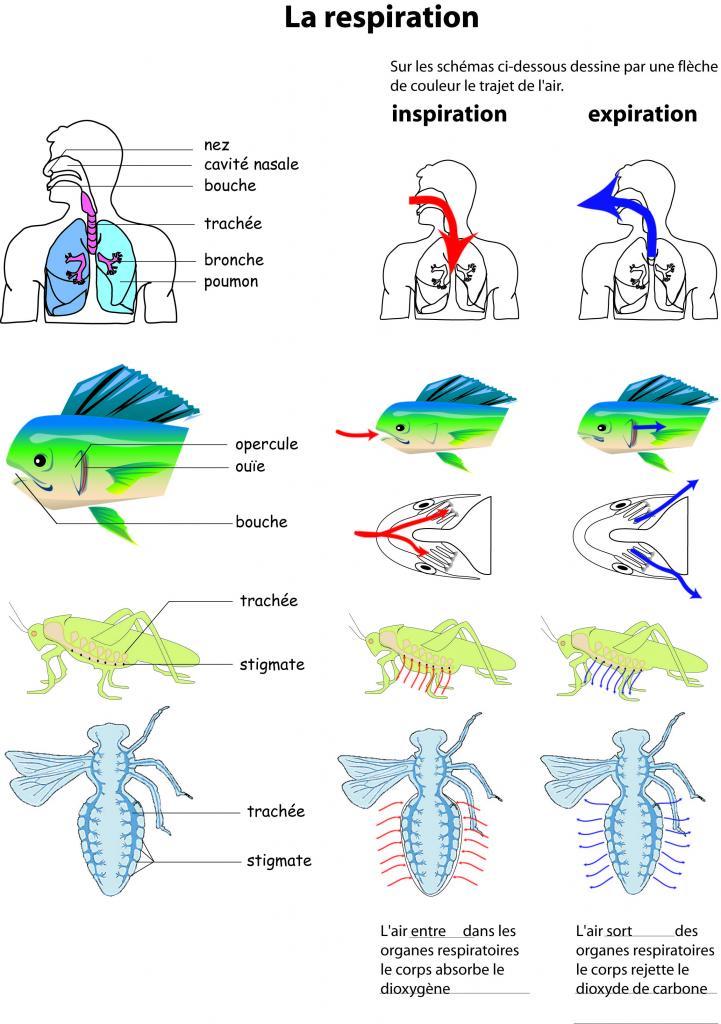 Occupation des milieux et organes respiratoires - Differents types de ventilation ...