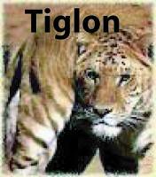 tiglon.jpg